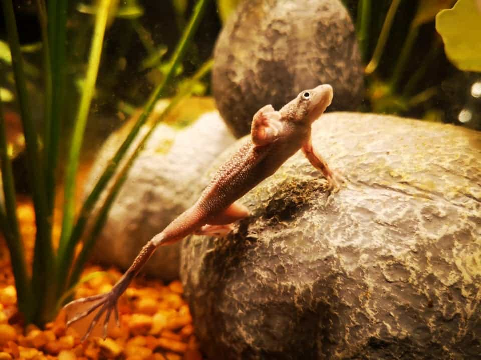 Frog inside Aquarium that lived 10 for years