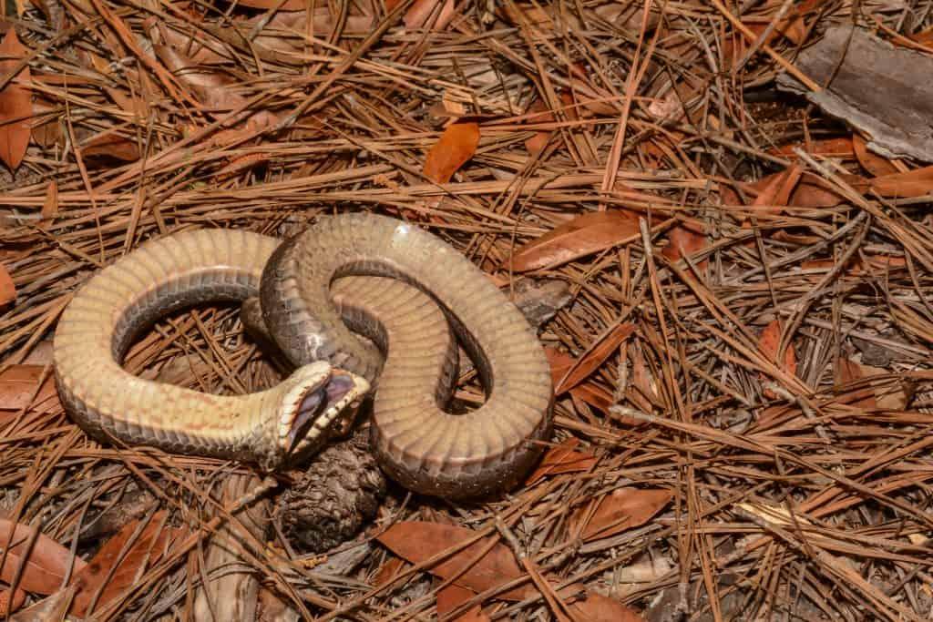 Eastern Hognose Snake Playing Dead