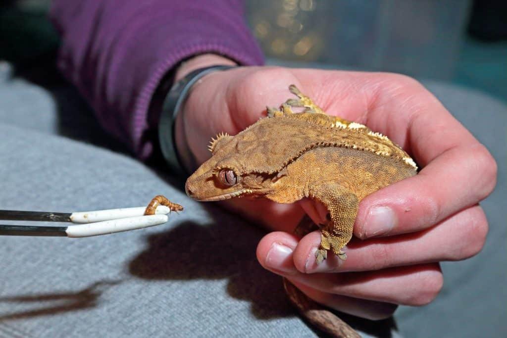 Feeding Crested Gecko
