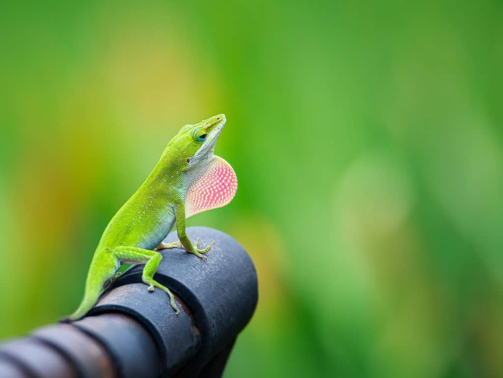 Green Anole lizard (Anolis carolinensis) showing off his bright