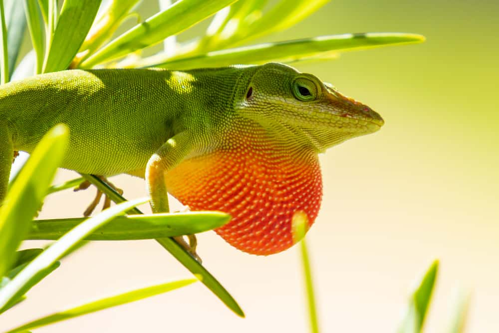 Green Anole lizard with throat puffed up