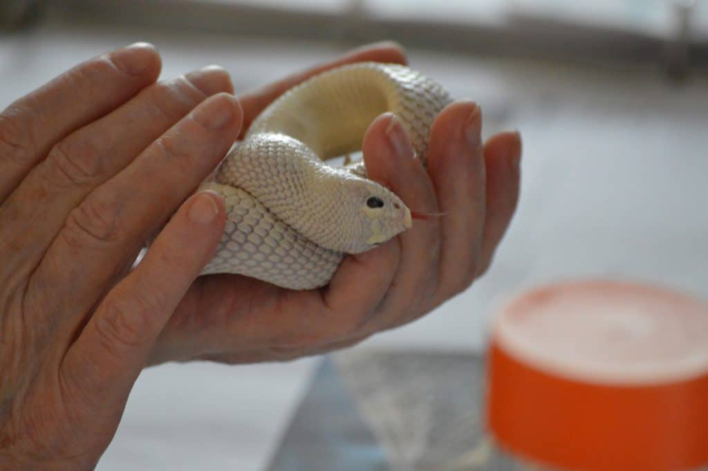 Holding a Hognose snake in the palm of your hand