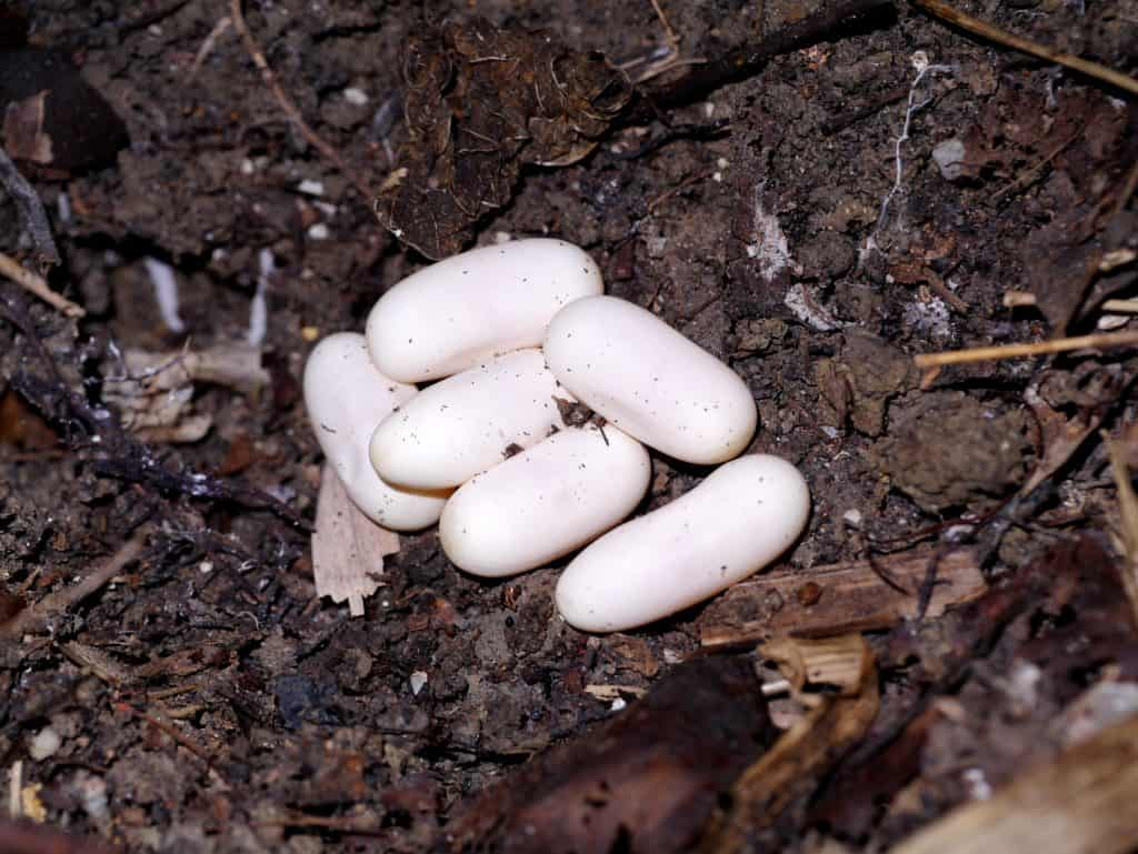 Snake eggs on the ground.