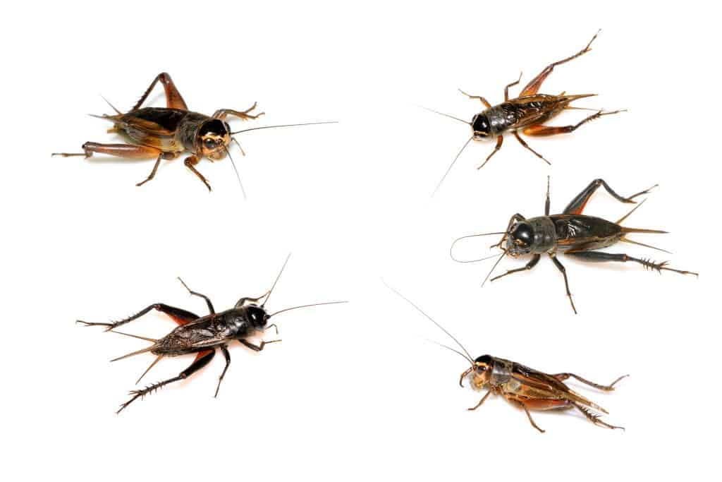 Different Types of Crickets