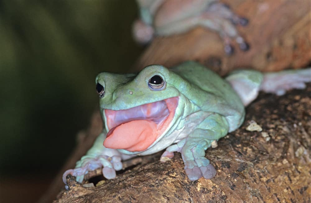 A White's tree frog uses its sticky tongue to catch prey.