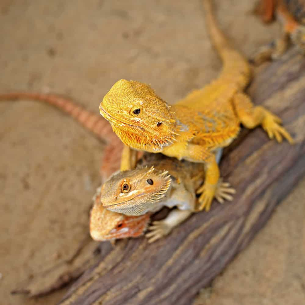 3 Bearded dragon in yellow and orange on a trunk