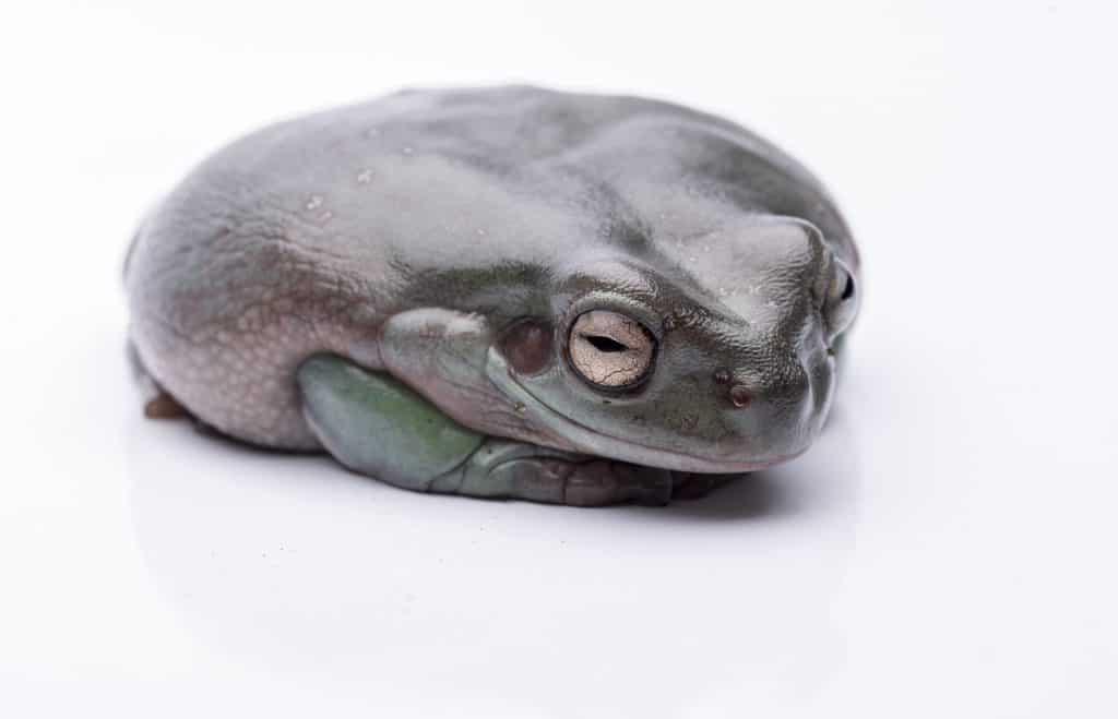 A big, fat Australian Tree Frog, sitting on the ground.