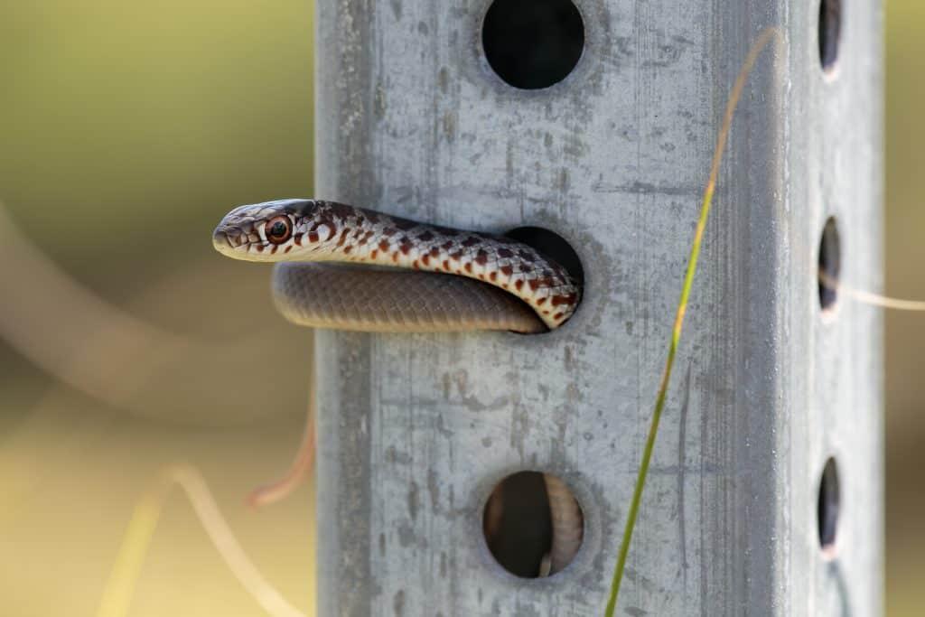 A juvenile Southern Black Racer snake