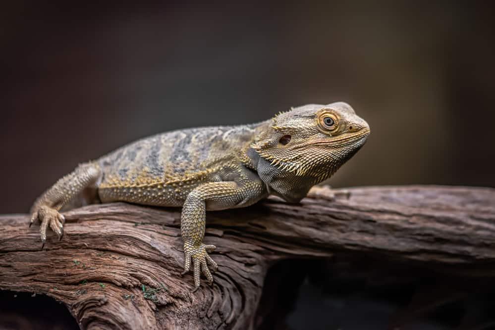 A mature bearded dragon lying horizontally on a wood