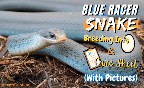 Blue Racer Snake Breed Info & Care Sheet (With Pictures)