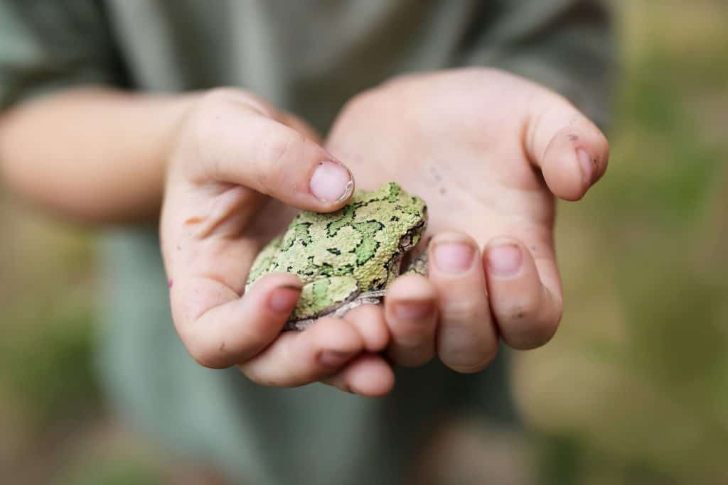 Dirty Hands of Little Boy Holding a Gray Treefrog