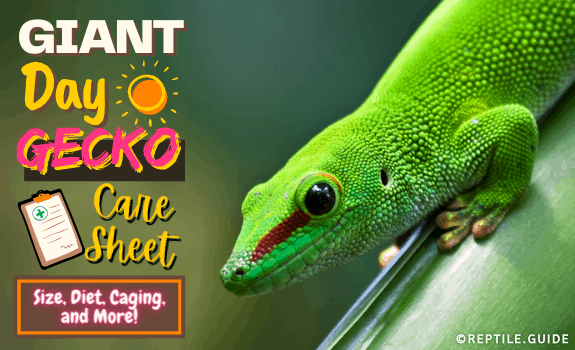 Giant Day Gecko Care Sheet Size, Diet, Caging and More (4)