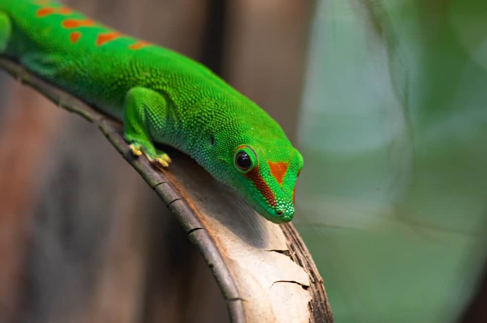 Giant Day Gecko with green skin