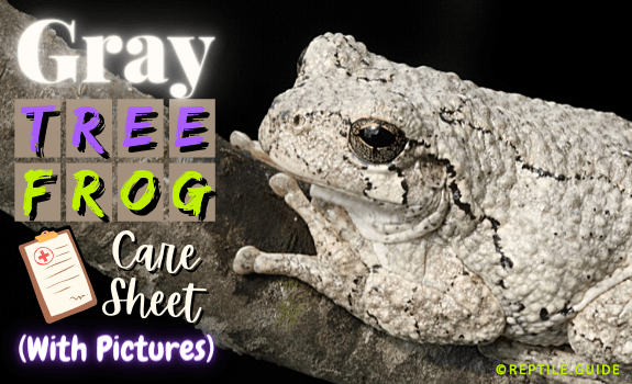 Gray Tree Frog Facts & Care Sheet (With Pictures)