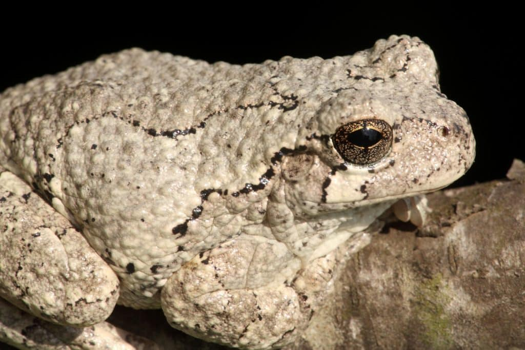 Gray Tree Frog (Hyla versicolor) on a tree with a black background