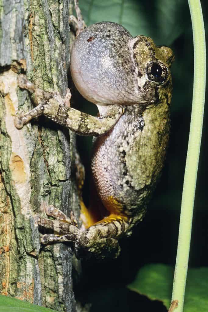 Gray Treefrog Communicating