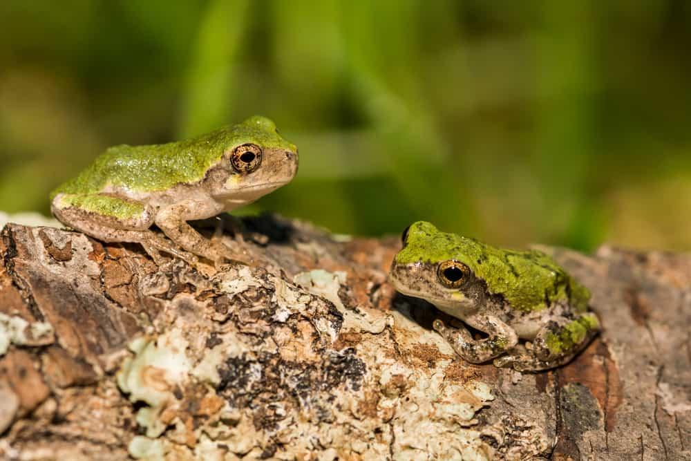 Gray tree frog-hyla versicolor
