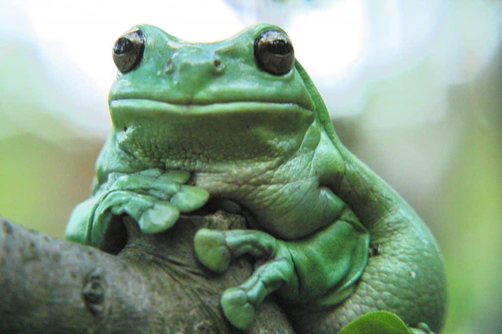 Big Green Frog, white's tree frog