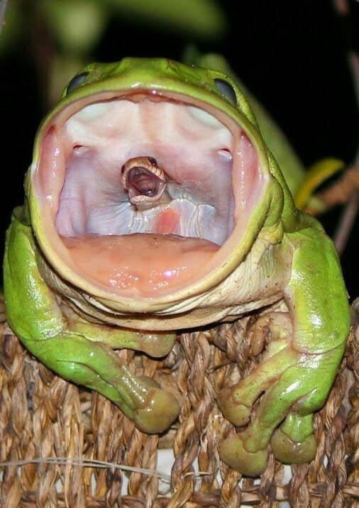Snakes final breath as it's swallowed alive by frog