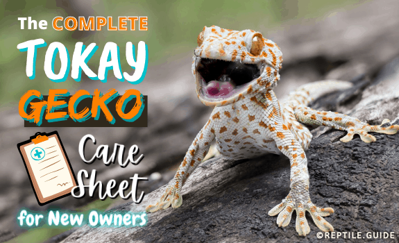 The Complete Tokay Gecko Care Sheet for New Owners