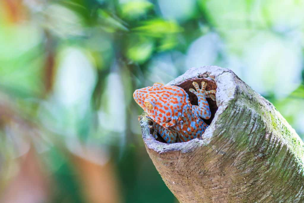 Tokay Gecko inside cork tunnels