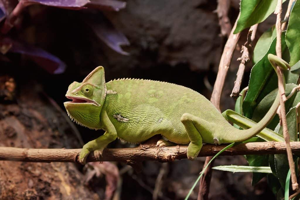 Veiled chameleon resting on a branch in its habitat