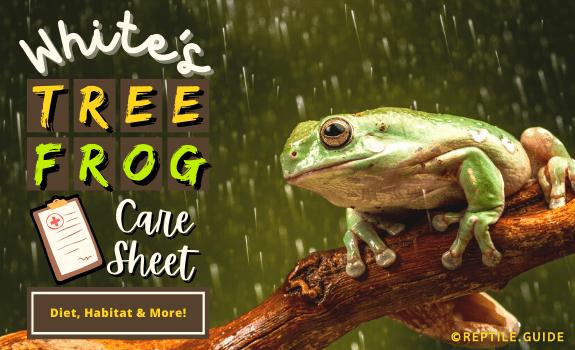 White's Tree Frog Care Sheet Diet, Habitat, & More