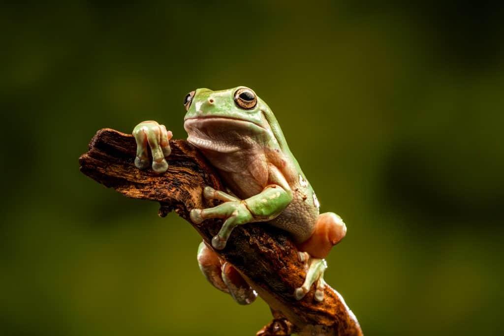 White's Tree Frog (Litoria caerulea) - closeup view