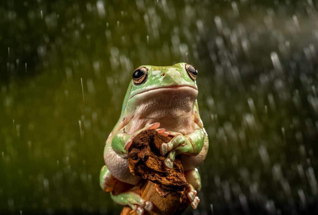 White's Tree Frog (Litoria caerulea) in the rain