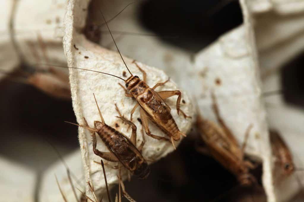 Wild House cricket