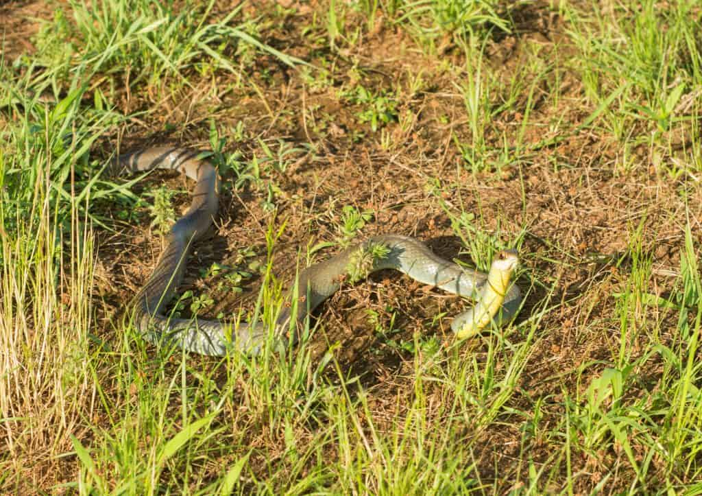 Yellow-bellied racer, Coluber constrictor flaviventris snake in grass