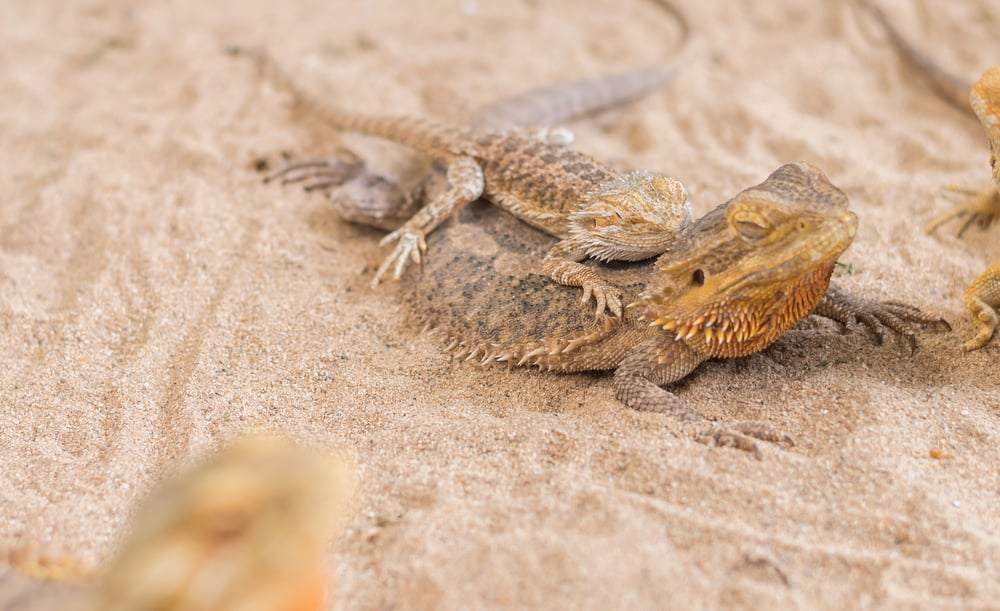 baby Bearded Dragon and mother.