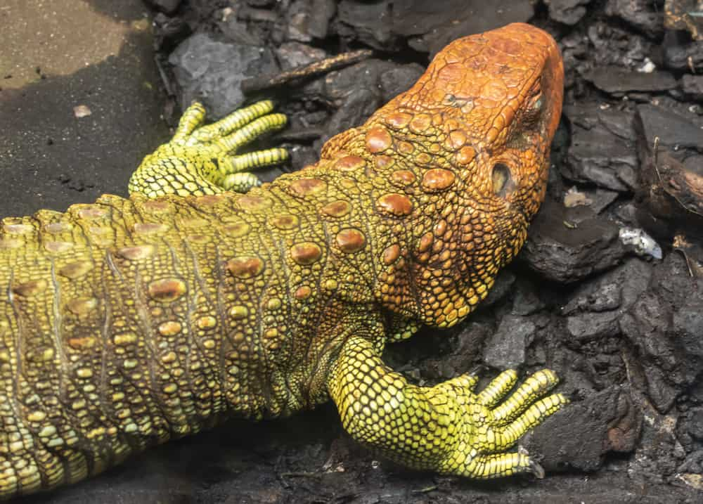 Caiman lizard with green and orange skin on the rocks