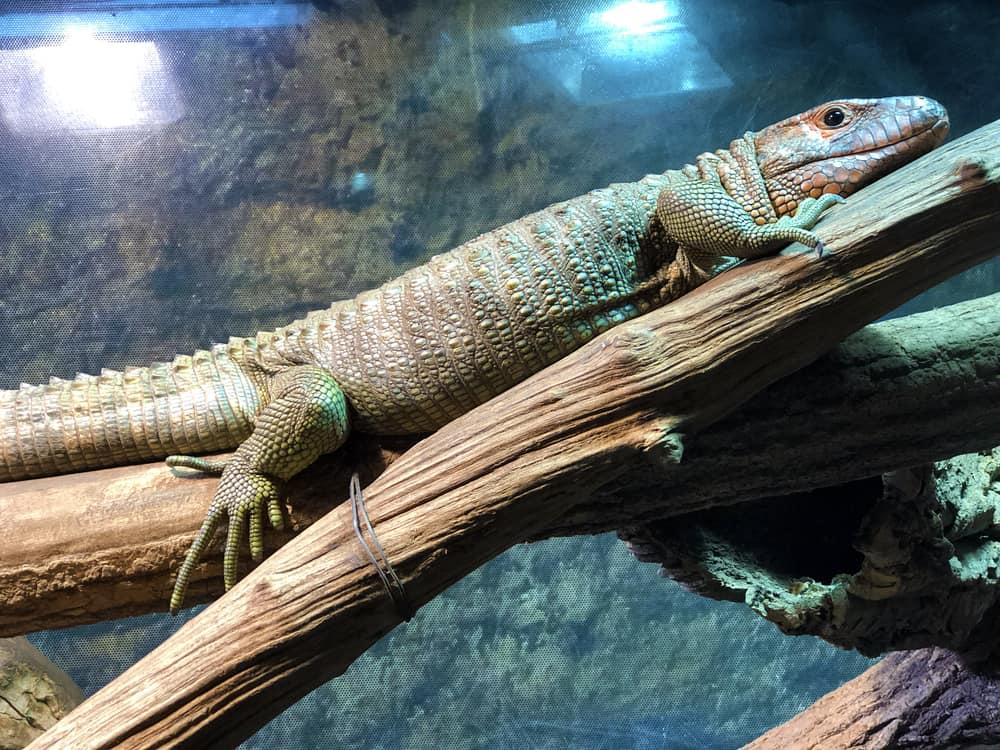 caiman lizard on tree trunk