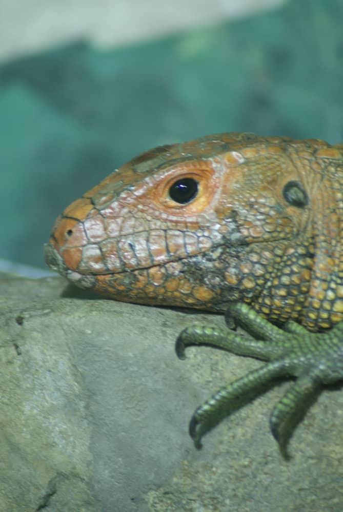 close up half bodied caiman lizard on tree trunk
