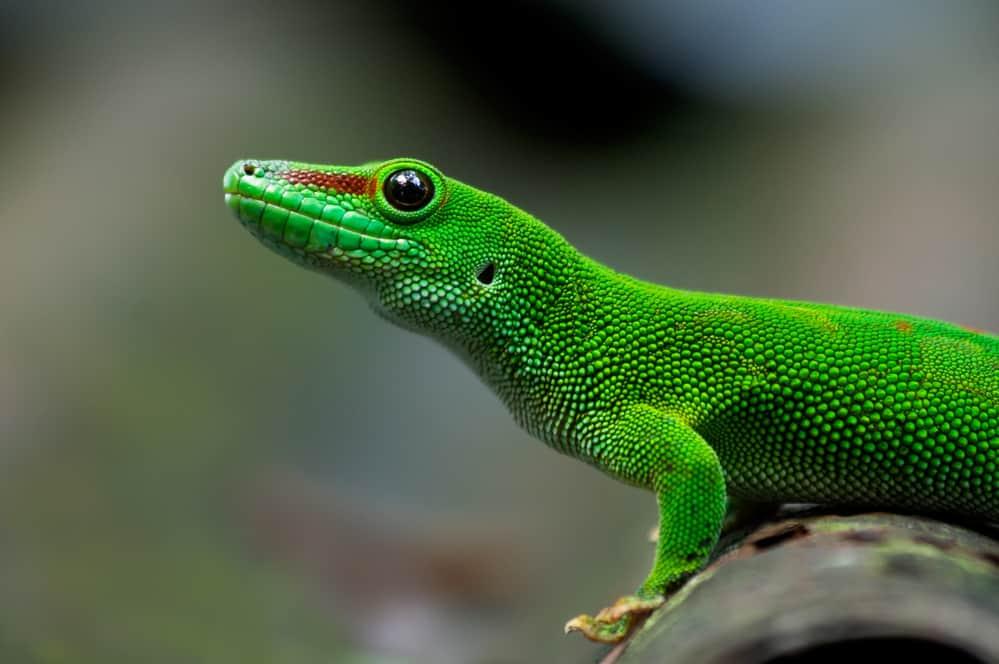 half body giant day gecko with green skin
