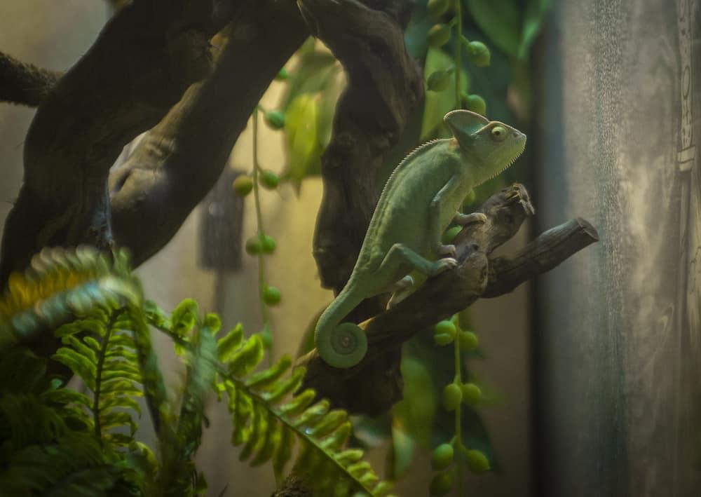 veiled chameleon in enclosure