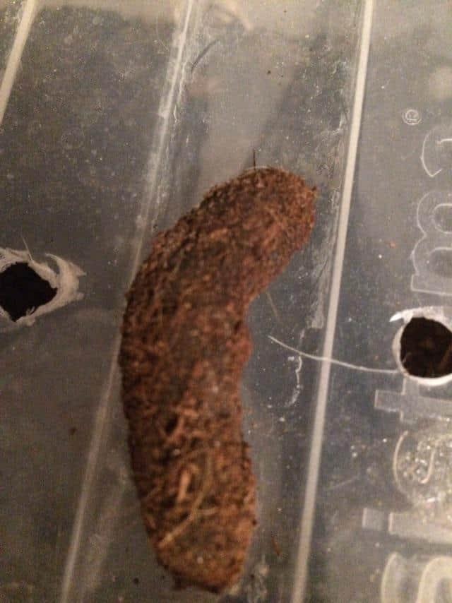 A Pacman frog poop