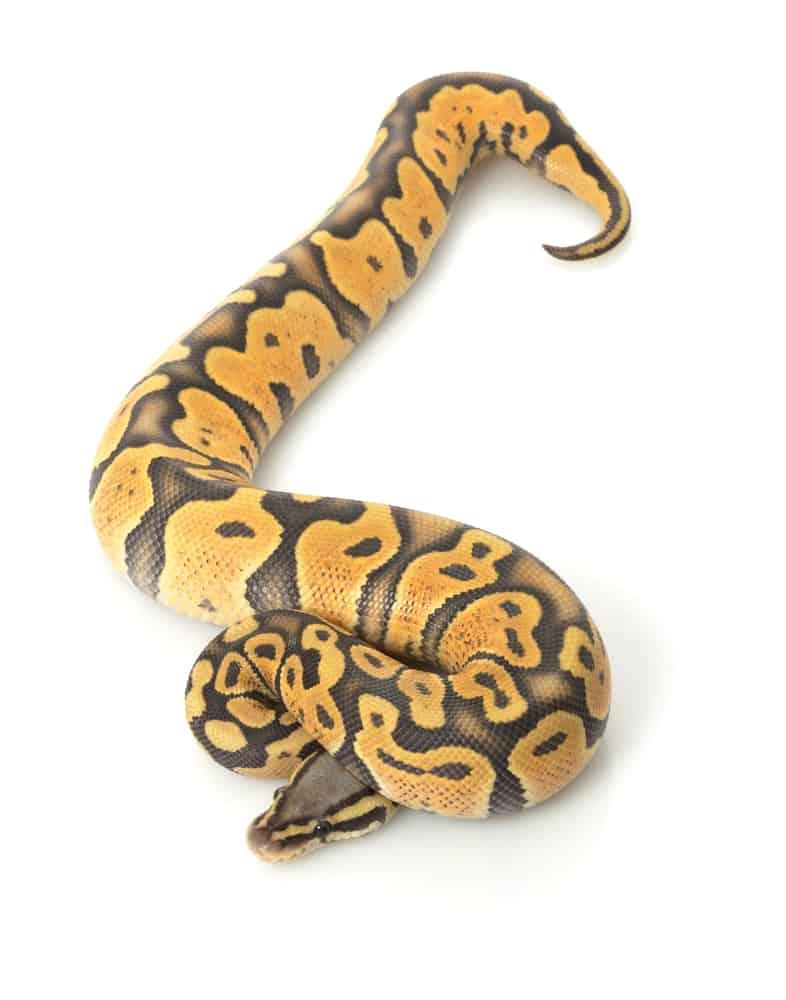 Pastel Orange Ball Python