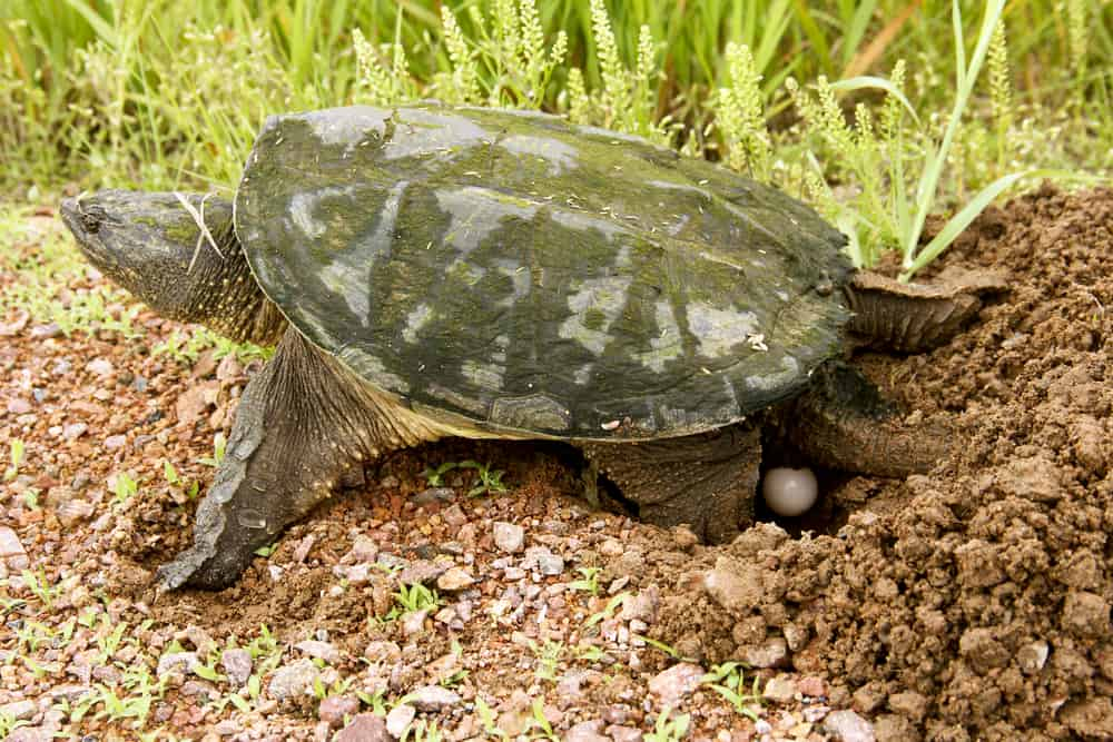snapping turtle eggs