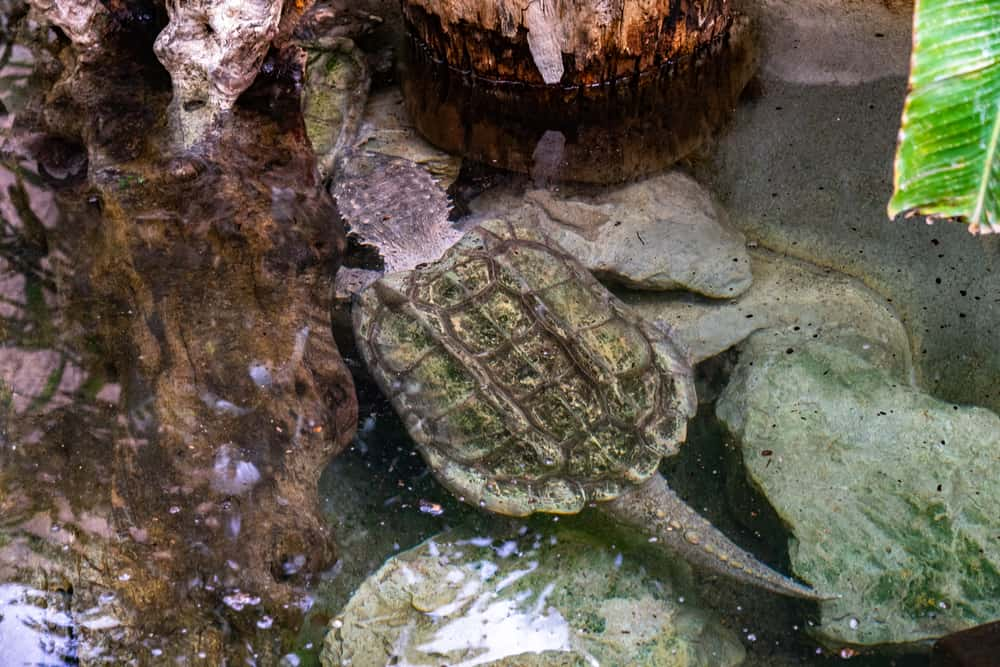 Alligator Snapping Turtles with long tail