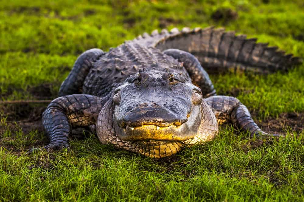 American alligator's 4th teeth