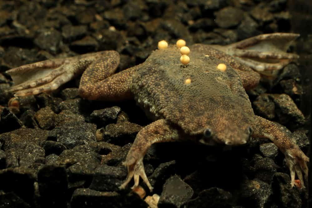 Aquatic Aquariums Suriname Frog