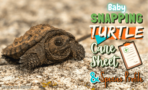 Baby Snapping Turtle Care Sheet and Species Profile