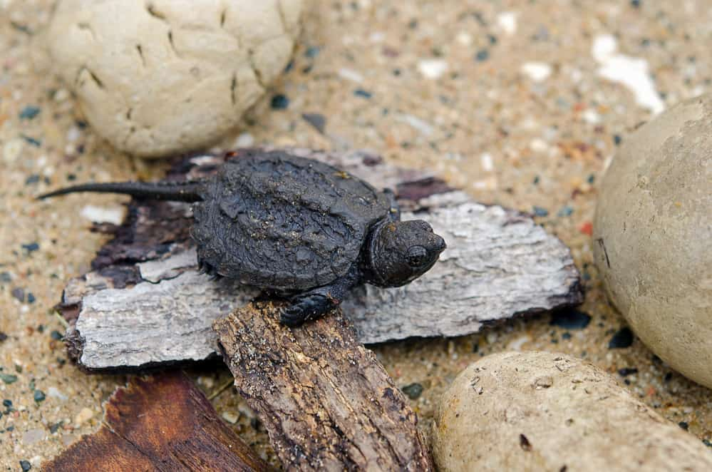 Baby snapping turtle on a plain wood