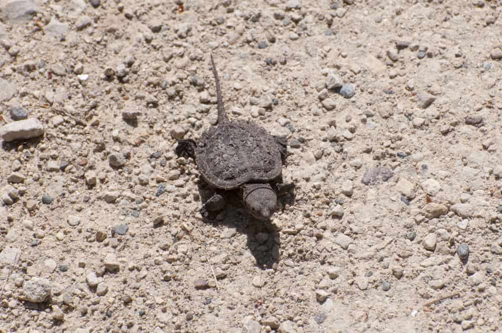 Baby Snapping Turtle, Chelydra serpentina, on his way to the lake.