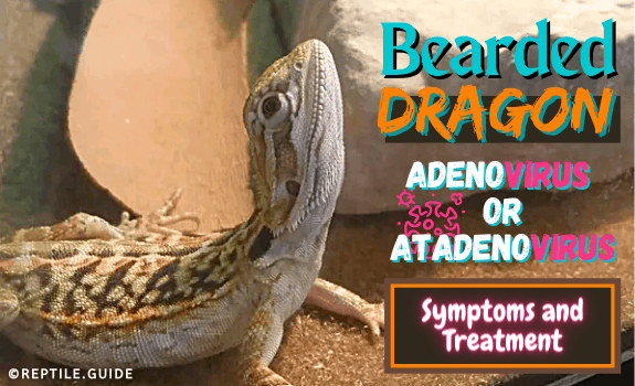 adenovirus bearded dragon