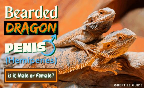 Bearded Dragon Penis (Hemipenes) - is it Male or Female
