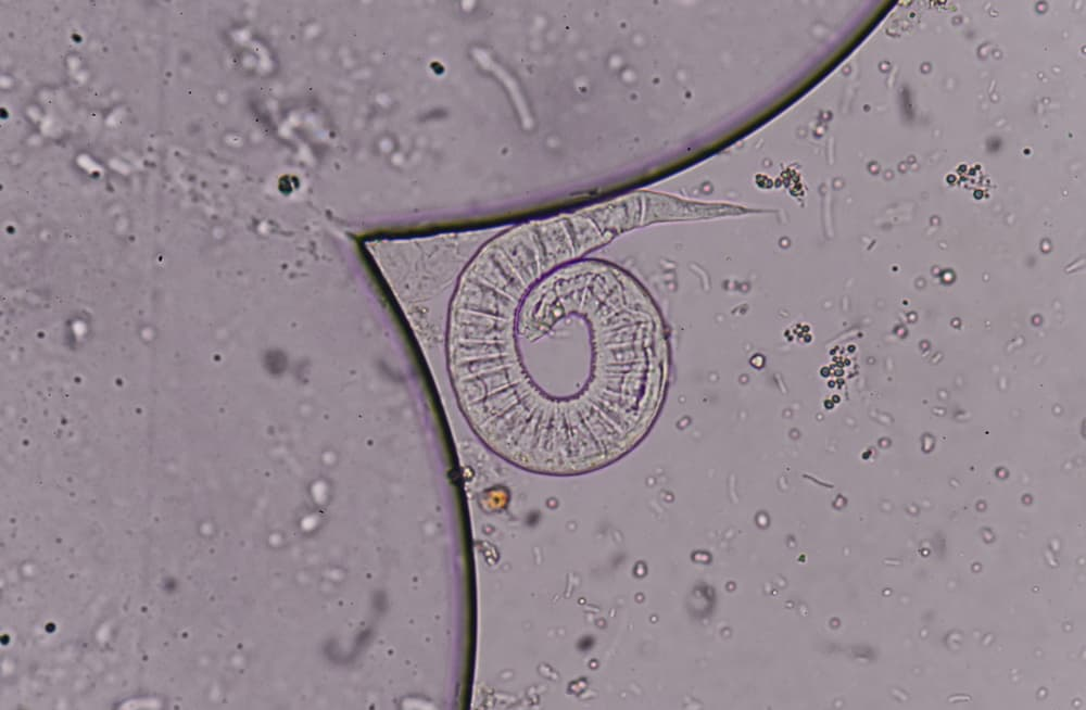 Bearded Dragon Roundworms