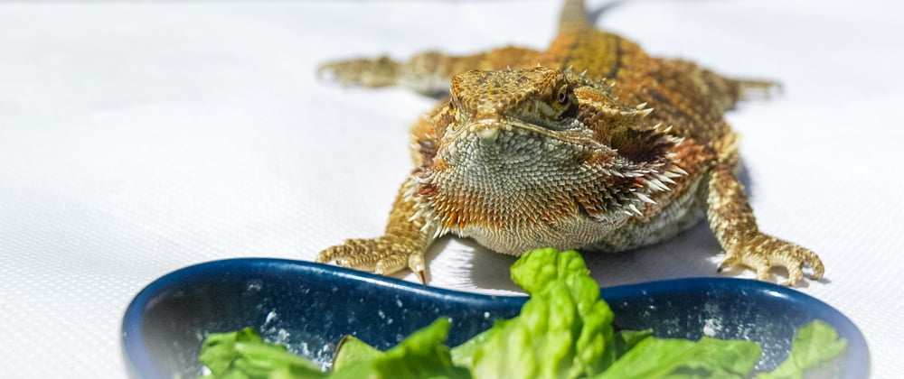 can bearded dragons eat strawberries? Picture of bearded dragon and its food bowl